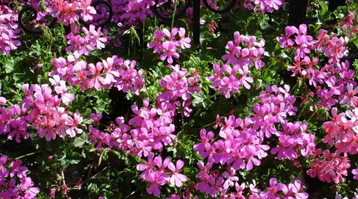 Rifiorirà il giardino … la Bellasignora vi da una mano, anzi due !!!